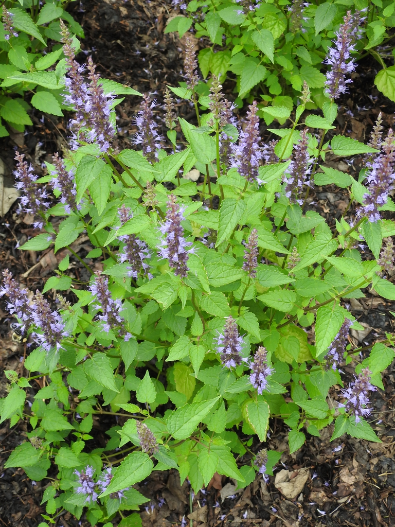Agastache 'Astello Indigo' form