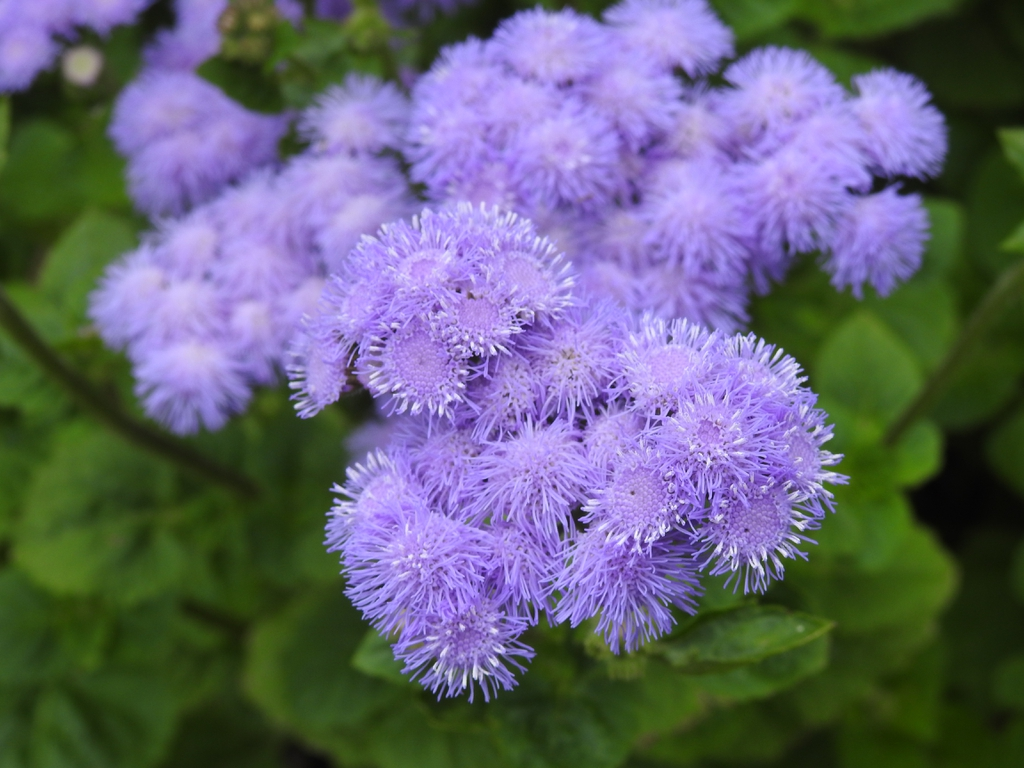 Ageratum houstonianum 'Blue Horizon'  flowers