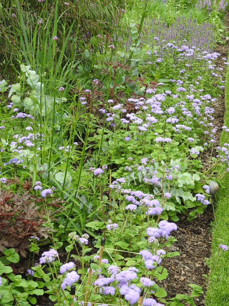 Ageratum houstonianum 'Blue Horizon'  mass planting