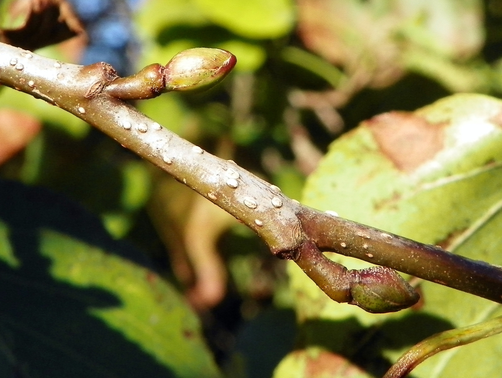 Alternate buds on a stem