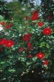 Rosa 'DELmur'
