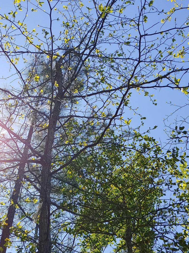 american persimon brunswick nature park skdavidson