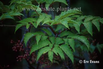 Ampelopsis megalophylla