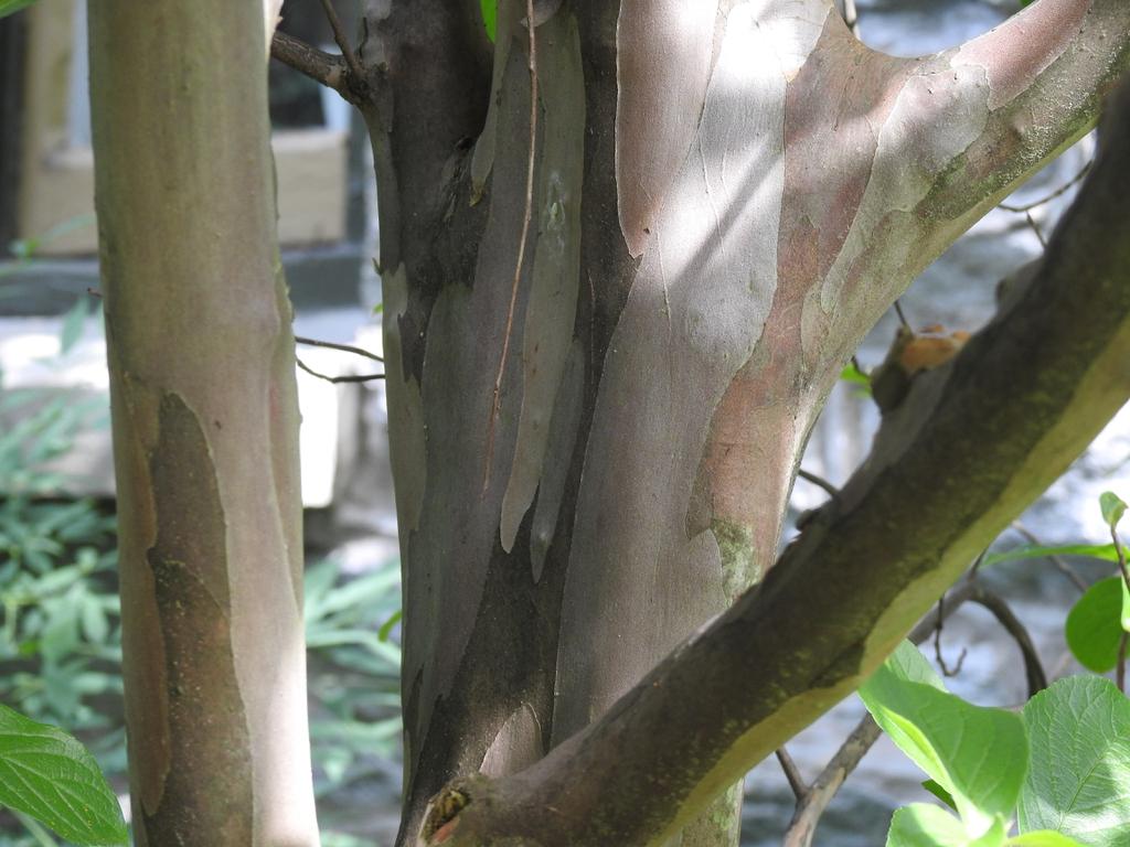 Smooth mottled bark