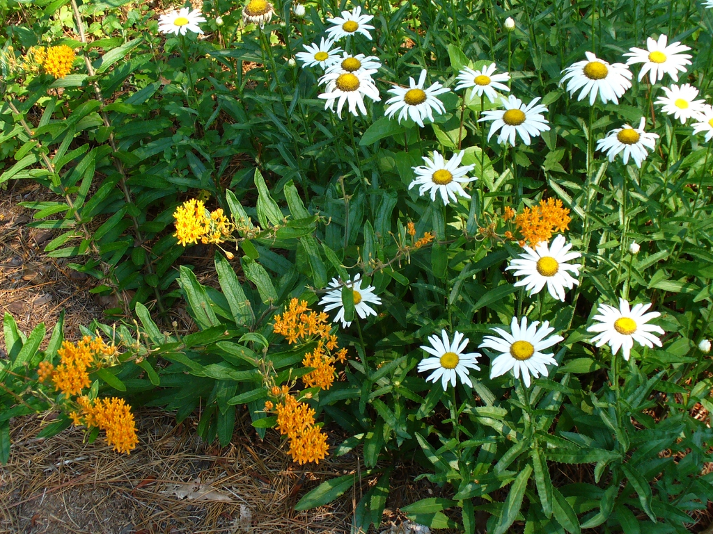 Planted along side butterfly weed in summer in Moore County