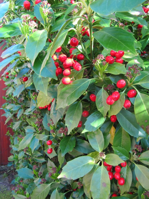 Aucuba japonica 'Rozannie' Red fruits