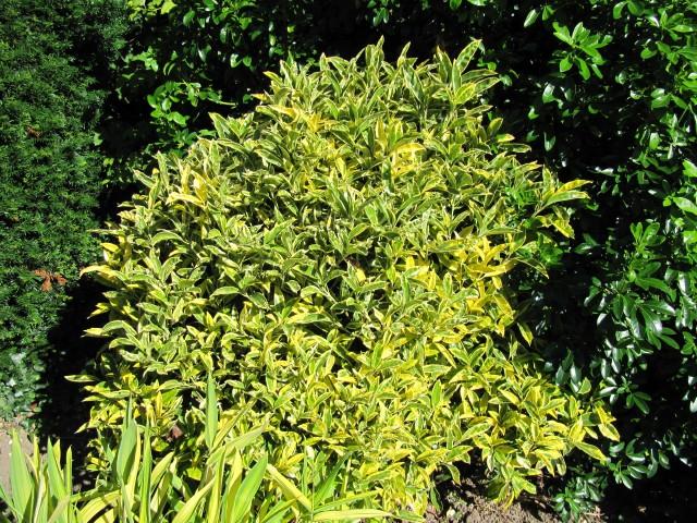 Aucuba japonica 'Sulphurea Marginata' form