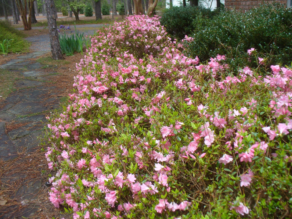 Azalea kurume 'Pink Pearl' in the spring in Moore County