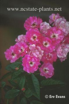 Rosa 'TANbeedee'