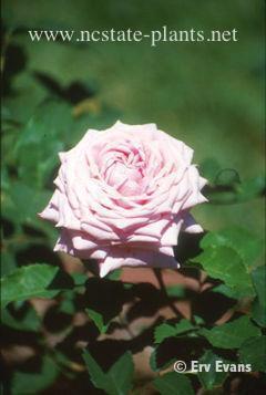 Rosa 'Belinda's Dream'