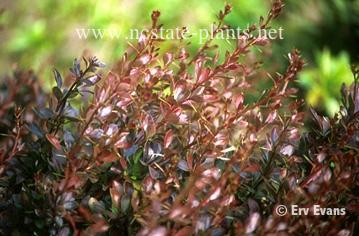 Photo of Berberis thunbergii 'Crimson Pygmy'