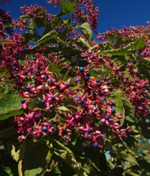 Clerodendrum trichotomum 'Betty Stiles'