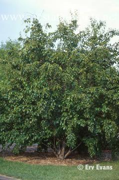 Betula grossa full