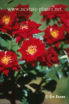 Rosa 'BENblack'