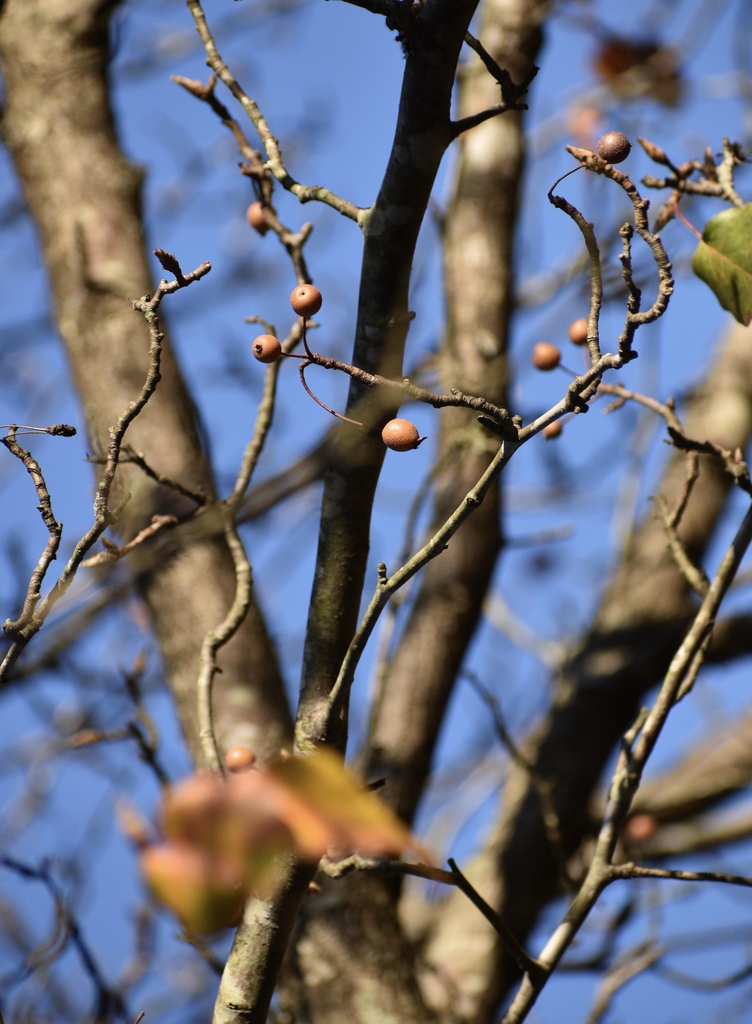 Fruit and branches (Warren County, NC)- Winter