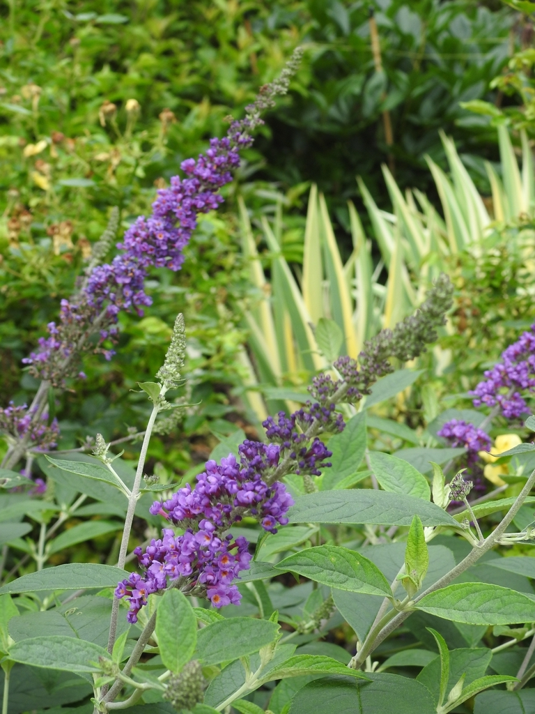 Buddleja 'Blue Chip Jr' flowers
