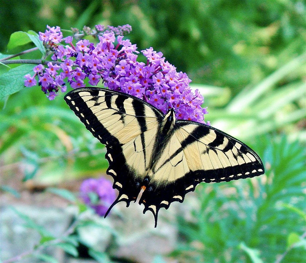 Swallowtail sipping nectar.