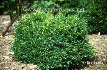Photo of Buxus 'Green Velvet'