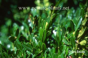 Photo of Buxus harlandii