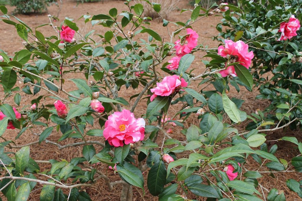 camellia reticulata hybrid Frank Houser Variegated skdavidson nh