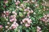 Rosa 'MElpotal'