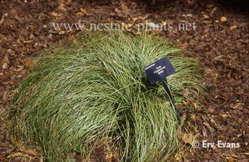 Carex albula 'Frosty Curls'