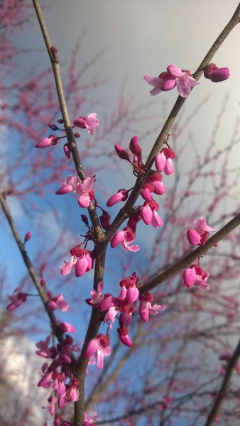 Carolina Sweetheart™ Redbud