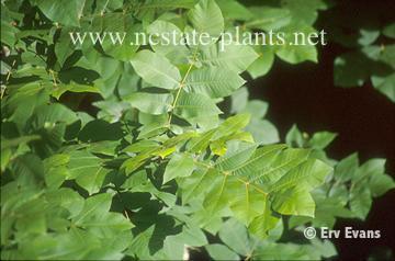 Carya myristicaeformis
