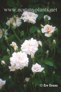 Rosa 'Cecile Brunner'