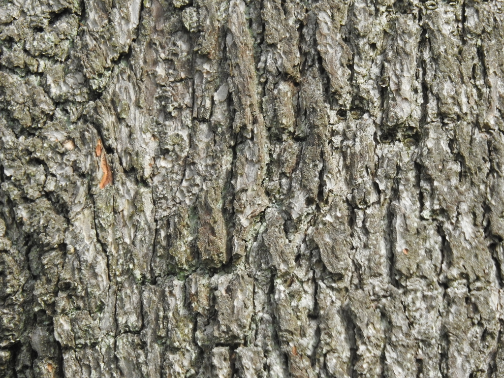 Cedrus atlantica bark