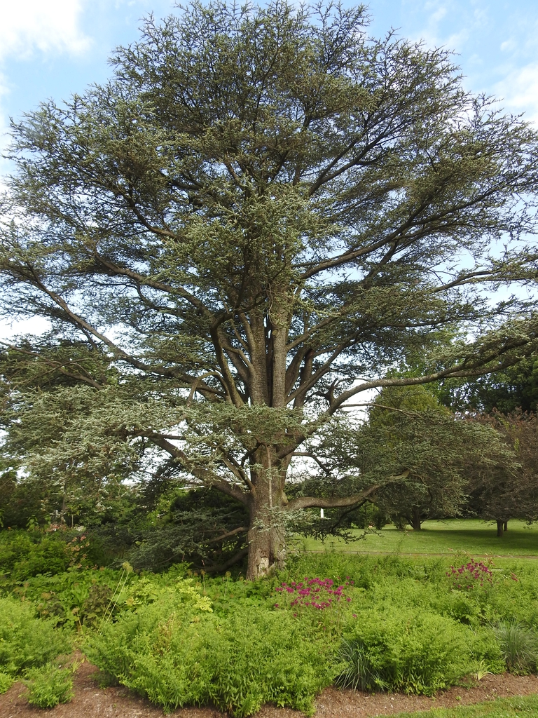 Cedrus atlantica form