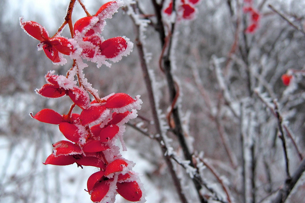 Fruits are very showy in the winter.
