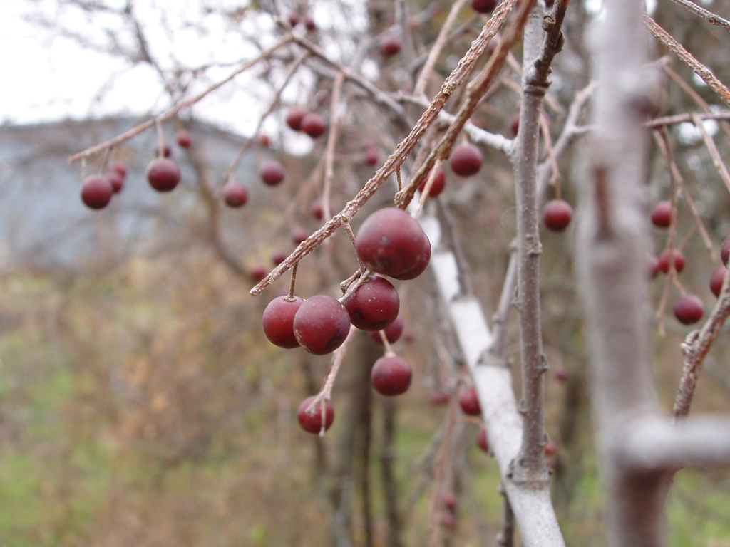 Ripe sugar berries in the fall.