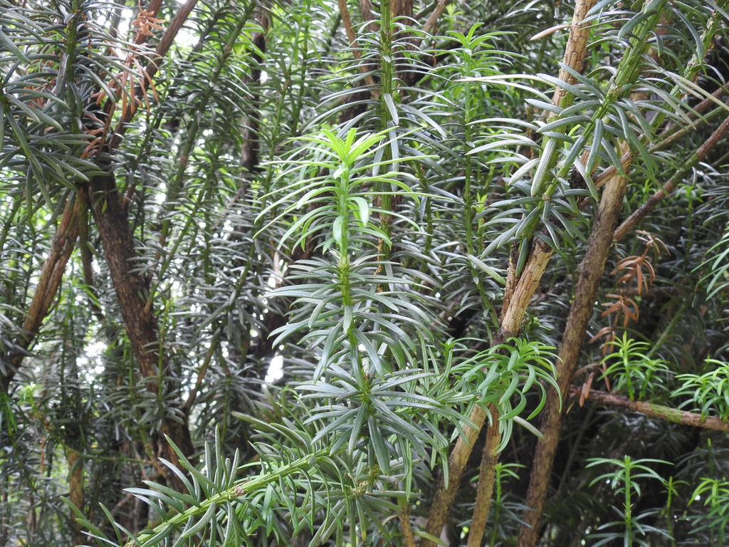 Cephalotaxus harringtonia 'Fastigiata' branches