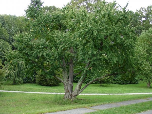 Cercidiphyllum japonicium whole tree
