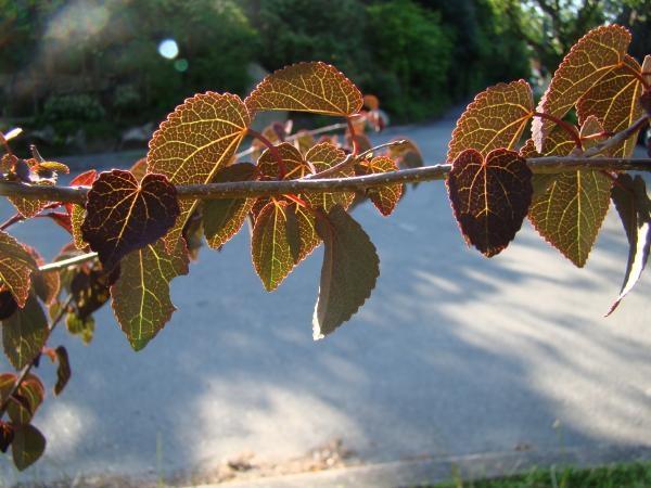 Cercidiphyllum japonicium leaves