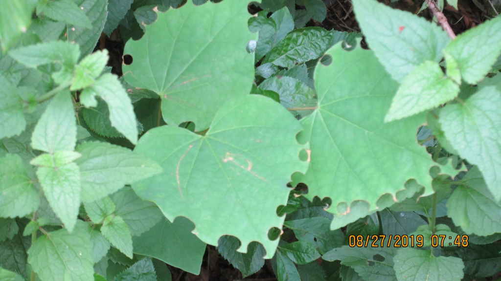 Leaf damage by megachile rotundata (late summer; Moore county)