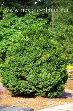 Chamaecyparis obtusa 'Kosteri'
