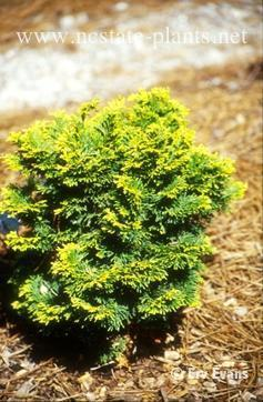 Chamaecyparis obtusa 'Verdoni'
