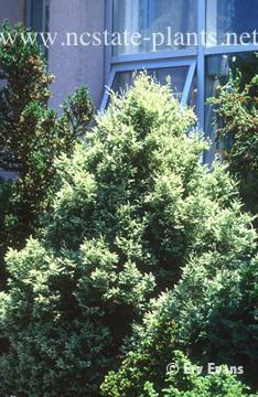 Chamaecyparis pisifera 'Snow'