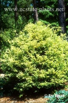 Chamaecyparis pisifera 'Squarrosa Lutea'