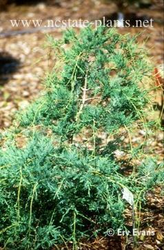Chamaecyparis thyoides 'Rariflora'