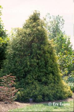Photo of Chamaecyparis pisifera