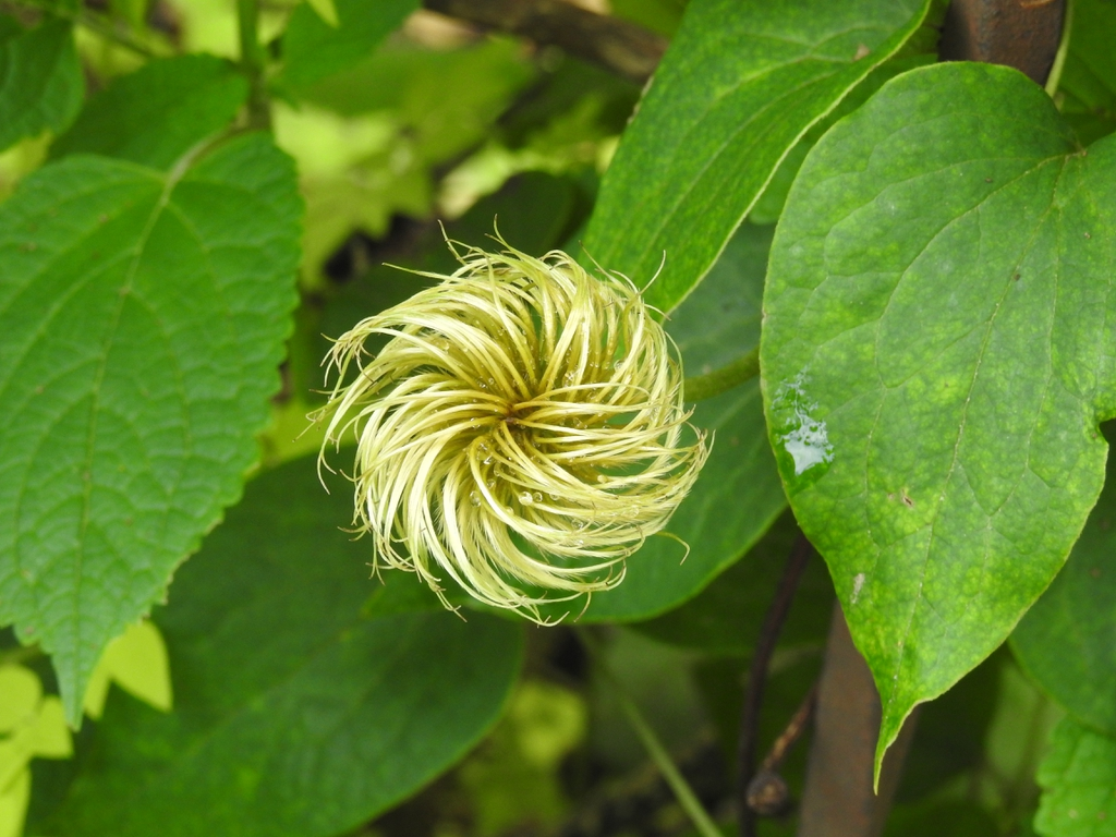 Clematis 'Moniuszko' early large flowered fruit