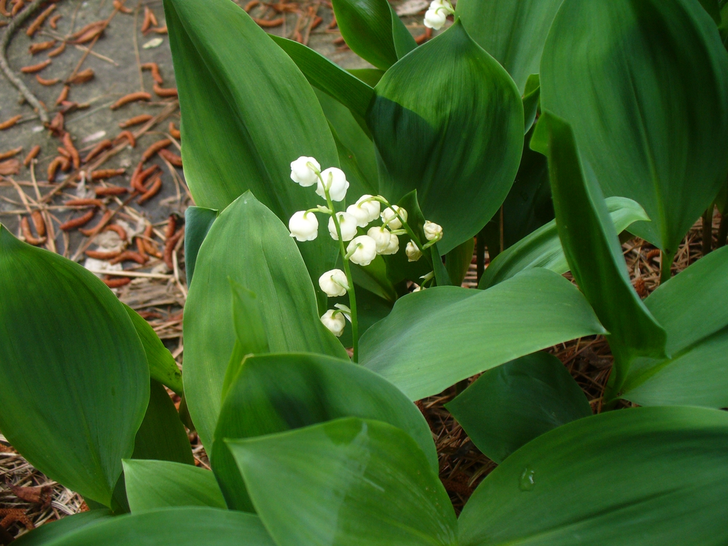 Convallaria majalis in spring with white flowers and green leave
