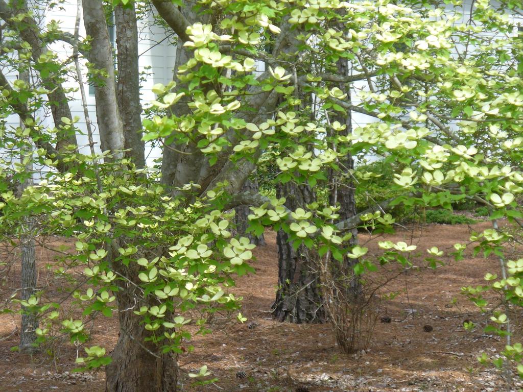 Cornus florida x cornus rutgersensis 'Rutban' Aurora® (early spr