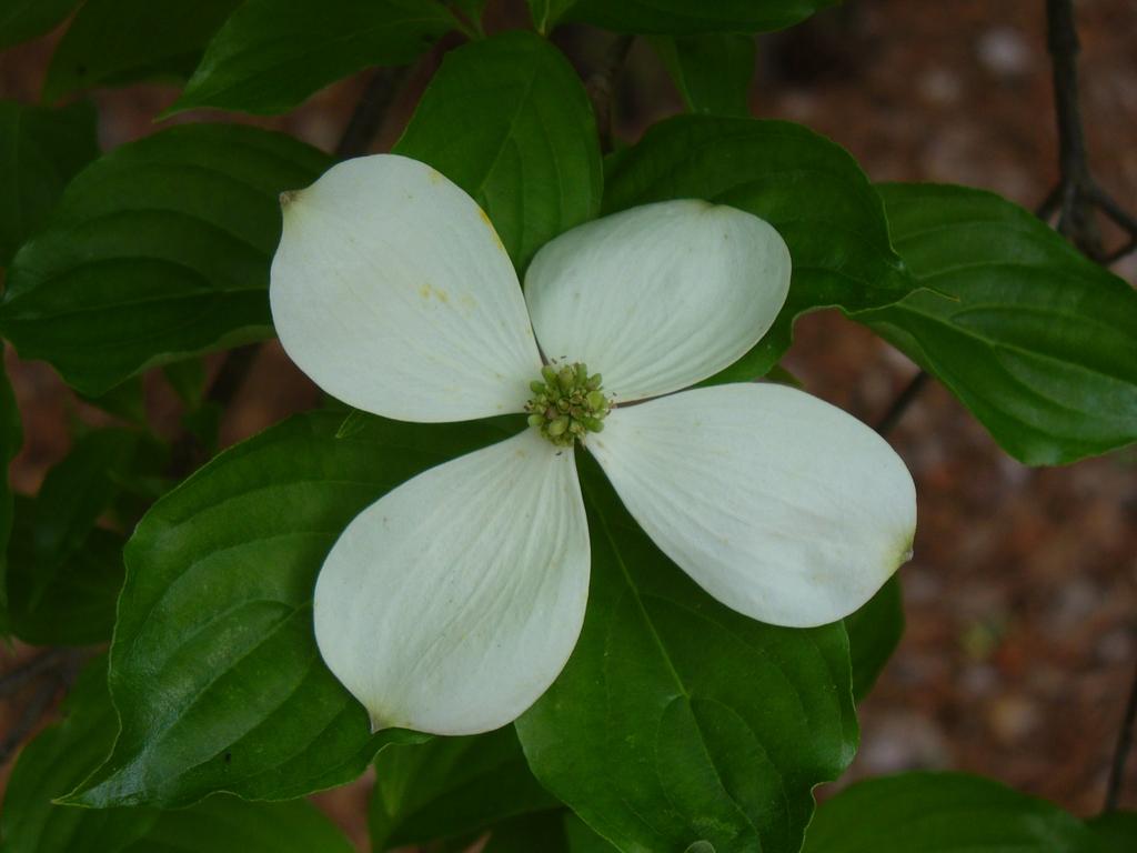 Cornus florida x cornus rutgersensis 'Rutban' Aurora®