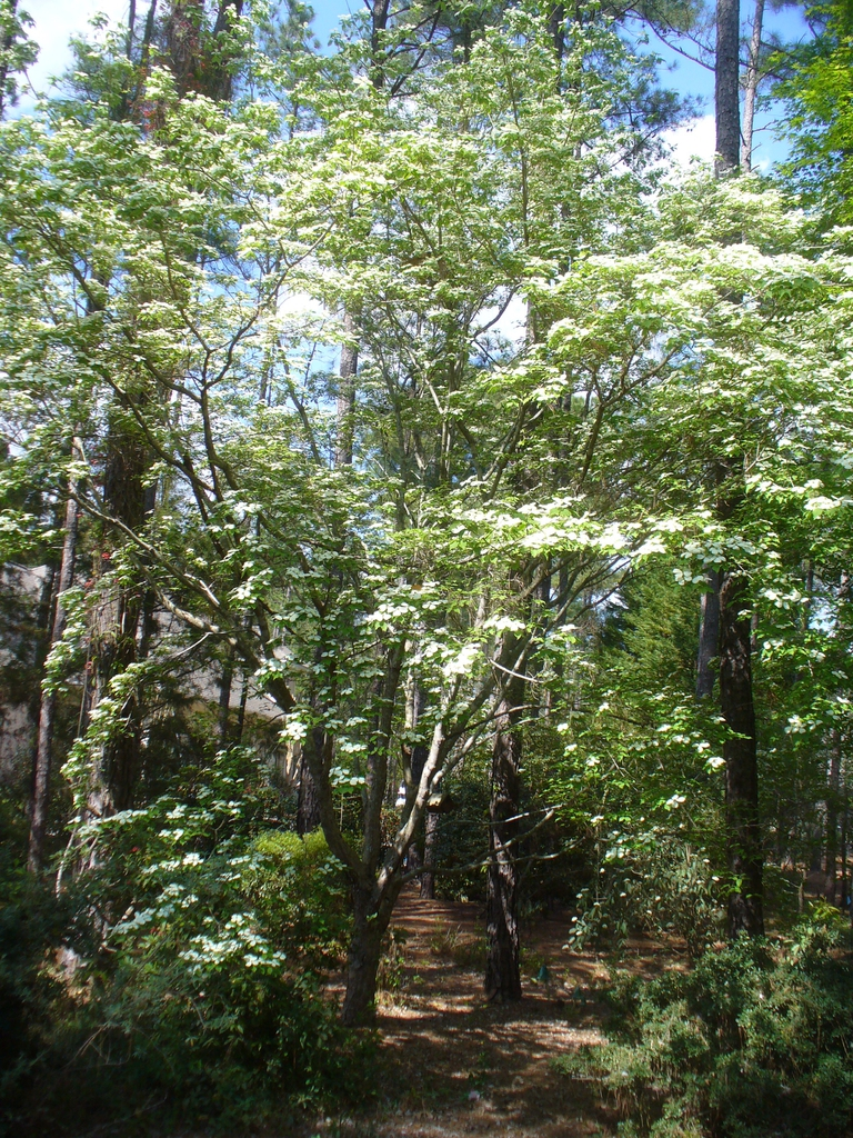 Cornus florida x cornus rutgersensis 'Rutban' Aurora® (tree in e