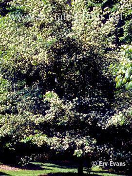 Photo of Crataegus oxycantha