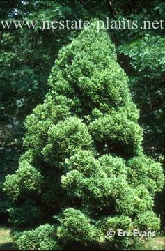 Photo of Cryptomeria japonica